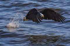 Bald Eagle fishing. The Iconic American Bald eagle fiercely grapples onto its meal in the back waters of the mighty Mississippi River Stock Photos
