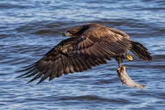 Bald Eagle fishing. Immature bald eagle off to eat it`s lunch Royalty Free Stock Photos