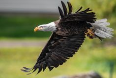 Bald Eagle Fishing in Maine stock images
