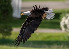 Bald Eagle Fishing in Maine stock photography