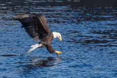 Bald Eagle Fishing Royalty Free Stock Images