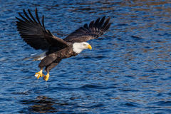 Bald Eagle Fishing Stock Photo