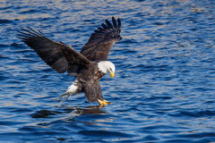 Bald Eagle Fishing Stock Image