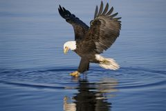 Bald Eagle Fishing Over Water Stock Photos