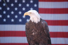 Bald Eagle with Flag stock images