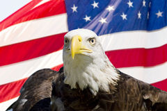 Bald Eagle with flag. American bald eagle in front of the American flag Stock Images