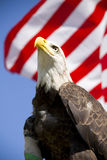 Bald Eagle with flag. American bald eagle in front of the American flag Royalty Free Stock Image
