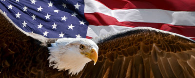 Bald eagle and flag. Bald eagle taking flight in front of an American flag Stock Photos
