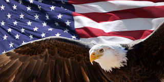 Bald eagle and flag. Bald eagle taking flight in front of an American flag royalty free stock photo
