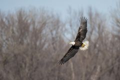 Bald eagle flies over river looks for fish Stock Image