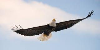 bald eagle flight ΗΠΑ albedo Ποταμός Chilkat Στοκ Εικόνες