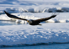 bald eagle flight ΗΠΑ albedo Ποταμός Chilkat Στοκ εικόνα με δικαίωμα ελεύθερης χρήσης