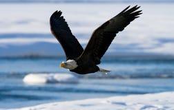 bald eagle flight ΗΠΑ albedo Ποταμός Chilkat Στοκ Εικόνα
