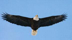 bald eagle flight США albacore Река Chilkat Стоковое Изображение RF