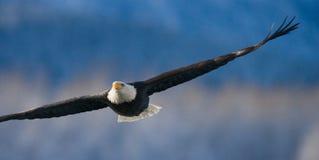 bald eagle flight США albacore Река Chilkat Стоковое фото RF