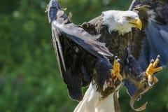 bald eagle flight Стоковая Фотография RF