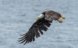 bald eagle flight Стоковые Фото