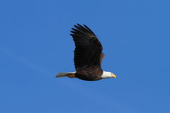 Bald Eagle in Flight Royalty Free Stock Image