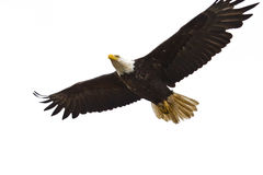 Bald Eagle in Flight. A Photo of an American Bald Eagle in Flight isolated on a white background. It was taken in Homer, Alaska Royalty Free Stock Photos