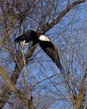 Bald Eagle in flight. Thru trees blue sky background Royalty Free Stock Photo