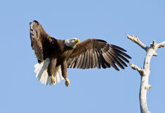 Bald Eagle in Flight. Adult Bald Eagle coming in for a landing in a dead tree stock photography
