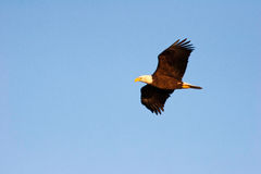 Bald Eagle in Flight. Bald Eagle Wings Spread in Wisconsin Stock Photos