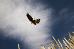 Bald eagle in flight Stock Image
