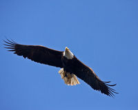 Bald Eagle in Flight Stock Photography
