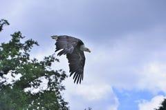 Bald eagle in flight Stock Photo