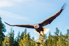 bald eagle flight Стоковое фото RF