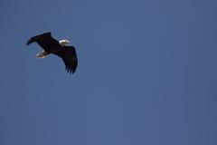bald eagle flight στοκ εικόνα με δικαίωμα ελεύθερης χρήσης