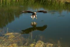 bald eagle flight Стоковая Фотография