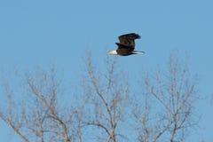 bald eagle flight Стоковое Изображение RF