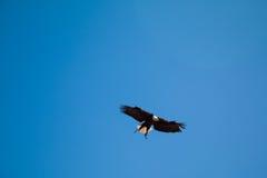 bald eagle flight Стоковое Изображение