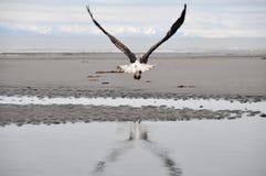 Bald eagle in flight (Alaska) Royalty Free Stock Image