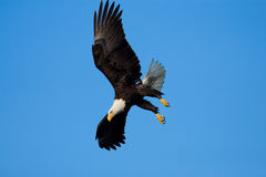 Bald Eagle in Flight , Alaska Royalty Free Stock Photo