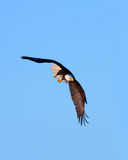 Bald Eagle in Flight , Alaska Stock Photo