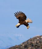 Bald Eagle in Flight , Alaska Royalty Free Stock Image