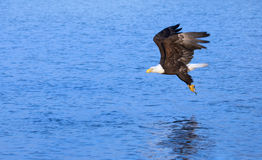 Bald Eagle in Flight , Alaska Royalty Free Stock Photos