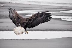 Bald eagle in flight, Alaska Stock Image