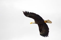 Bald Eagle in Flight, Alaska Stock Images