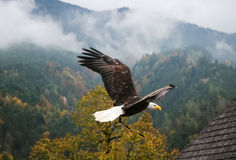 Bald Eagle in flight, Austria Royalty Free Stock Photography