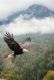Bald Eagle in flight, Austria Stock Photos