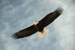 Bald eagle in flight awaiting fish feeding Royalty Free Stock Photography