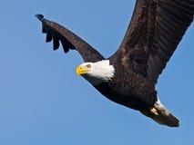 Bald Eagle in Flight. Against Blue Sky stock images