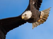 Bald Eagle in Flight. Wings Spread royalty free stock photos