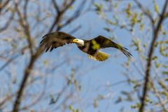 Bald Eagle in flight behind branches stock photo
