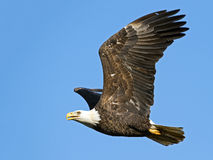 Bald Eagle in Flight. Displaying wings stock photos
