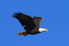 Bald Eagle In Flight With a Fish Stock Images