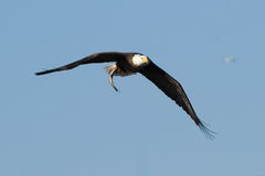 Bald Eagle in Flight With a Fish. Royalty Free Stock Image